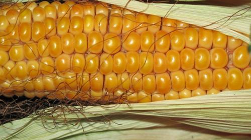 Кукурузные рыльца лечебные свойства. Лечебные свойства кукурузных рыльцев